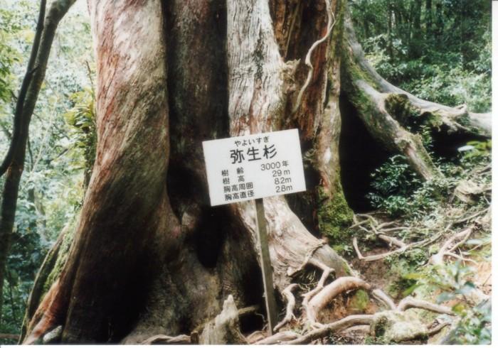 屋久島4 弥生スギ