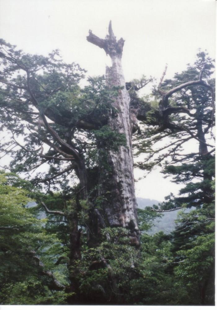 屋久島6 紀元スギ
